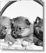 Pomeranian Metal Print by Everet Regal
