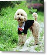 Poodle Wearing Suit Metal Print