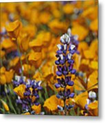 Poppies And Lupine Flowers In A Santa Metal Print