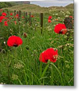 Poppies By The Roadside In Northumberland Metal Print