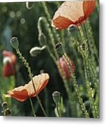 Poppies In A Field In Provence Metal Print