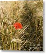 Poppies  In A Field Of Barley   Metal Print