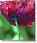 Poppy And Dewdrops Metal Print