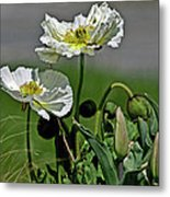 Poppy Flowers Metal Print