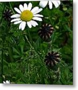 Poppy Pods And Daisy Petals Metal Print