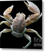 Porcelain Crab Metal Print