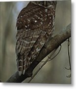 Portrait Of A Barred Owl Perched Metal Print