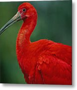 Portrait Of A Captive Scarlet Ibis Metal Print