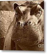Portrait Of A Hippo Metal Print