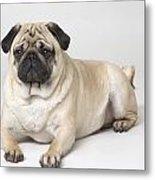 Portrait Of A Pug Dog Metal Print