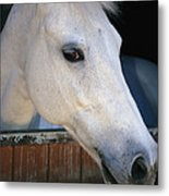 Portrait Of A White Horse Looking Metal Print