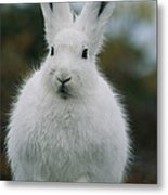 Portrait Of An Arctic Hare Metal Print