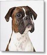Portrait Of Boxer Dog On White Metal Print