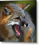 Portrait Of Gray Fox Barking Metal Print
