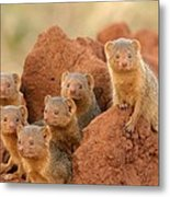 Portrait Of Seven Dwarf Mongooses Metal Print by Roy Toft