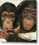Portrait Of Two Young Laboratory Chimps Metal Print