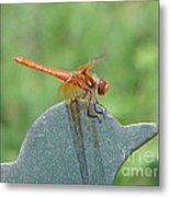 Posing Red Dragonfly Metal Print