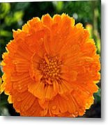 Pot Marigold  Metal Print