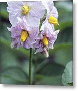 Potato (solanum Tuberosum 'charlotte') Metal Print by Maxine Adcock