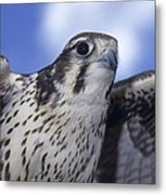 Prairie Falcon In Flight Metal Print