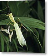 Praying Mantis With Its Shed Skin Metal Print