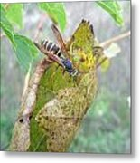 Predatory Wasp Hunts Spider Metal Print