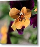 Prettiest Pansy Metal Print