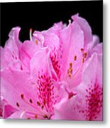 Pretty Pink Rhododendron Blossoms Metal Print