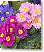 Primrose Primula Sp Flowers Metal Print