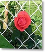 Princesse Rose Metal Print