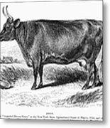 Prize Devon Cow, 1855 Metal Print
