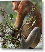Proboscis Monkey Nasalis Larvatus Male Metal Print