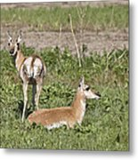 Pronghorn Antelope With Young Metal Print