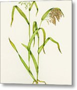 Proso Millet (panicum Miliaceum), Artwork Metal Print by Lizzie Harper