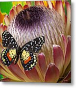 Protea With Speckled Butterfly Metal Print