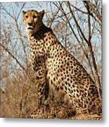Proud Cheetah Metal Print