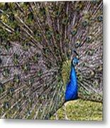 Proud Peacock At Leeds Castle Metal Print
