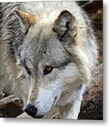 Prowling Wolf  Metal Print