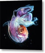 Pteropod Mollusc, Candida Species Metal Print by Sinclair Stammers