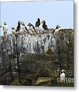 Puffins On A Cliff Edge Metal Print