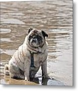 Pug Can't Be Budged Metal Print