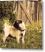 Pug Pose Metal Print