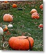 Pumpkin Field Metal Print