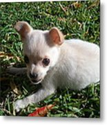 Pup In The Grass Metal Print