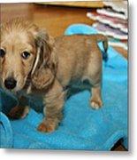 Puppy On Blue Blanket Metal Print