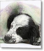 Puppy Sleeping Under Scarf Metal Print