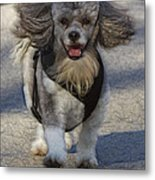 Puppy Walk Metal Print