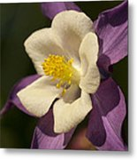 Purple And White Columbine Blossom Facing The Sun - Aquilegia Metal Print