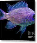 Purple Chromis Metal Print