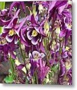 Purple Columbine Metal Print